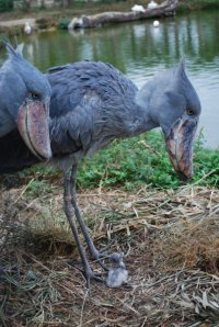 Shoebill Stork Family